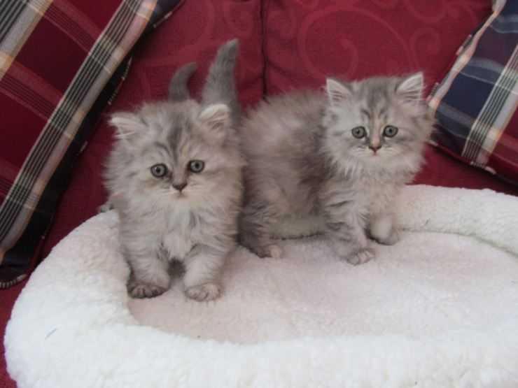 Британская длинношерстная кошка: характер породы, особенности ухода и советы по выбору породистой кошки (95 фото)