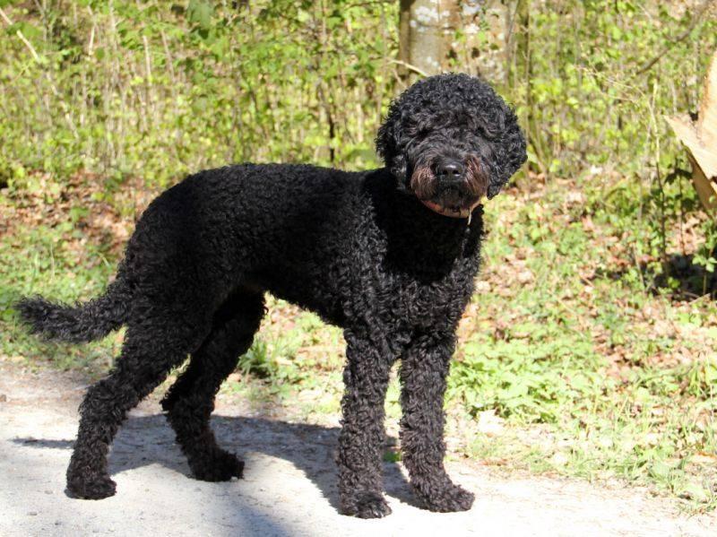 Французская водяная собака(барбет): описание породы, характер, фото | все о собаках
