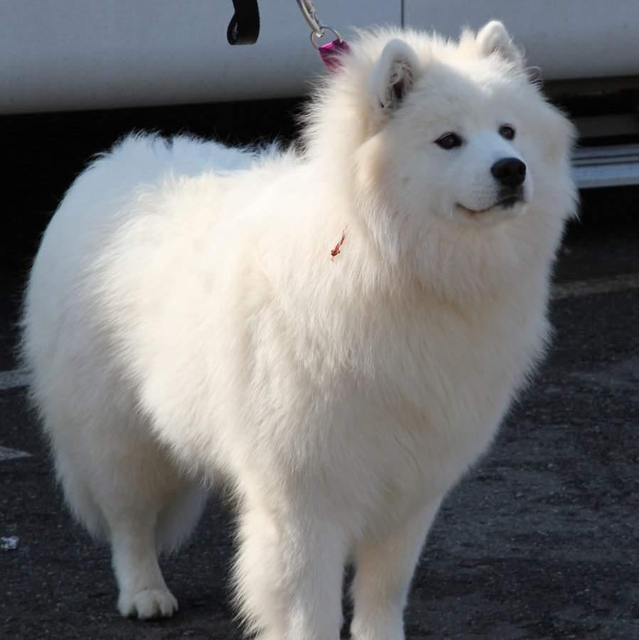 Американский эскимосский шпиц: описание и характеристики породы собак