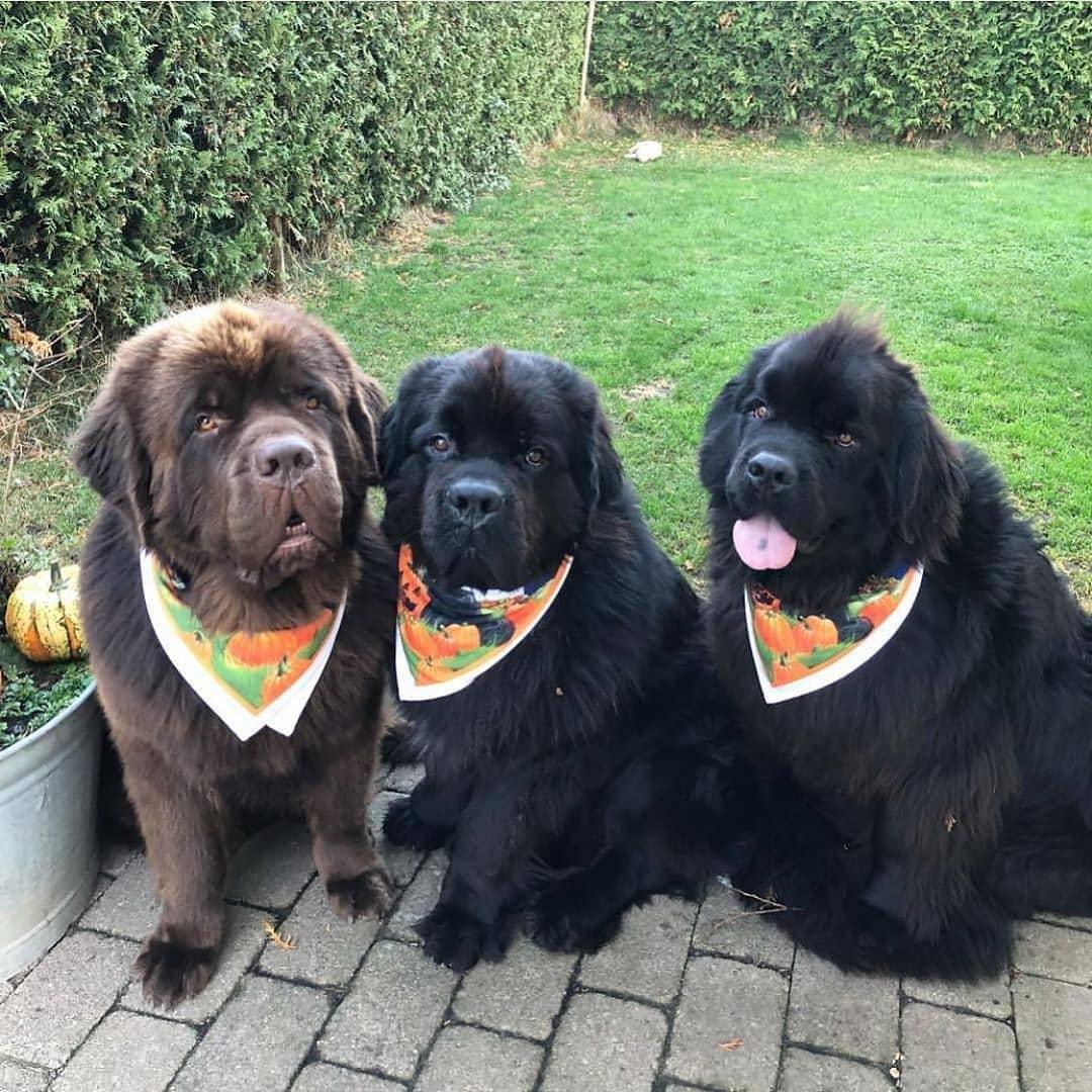 Ньюфаундленд – энциклопедия о собаках
