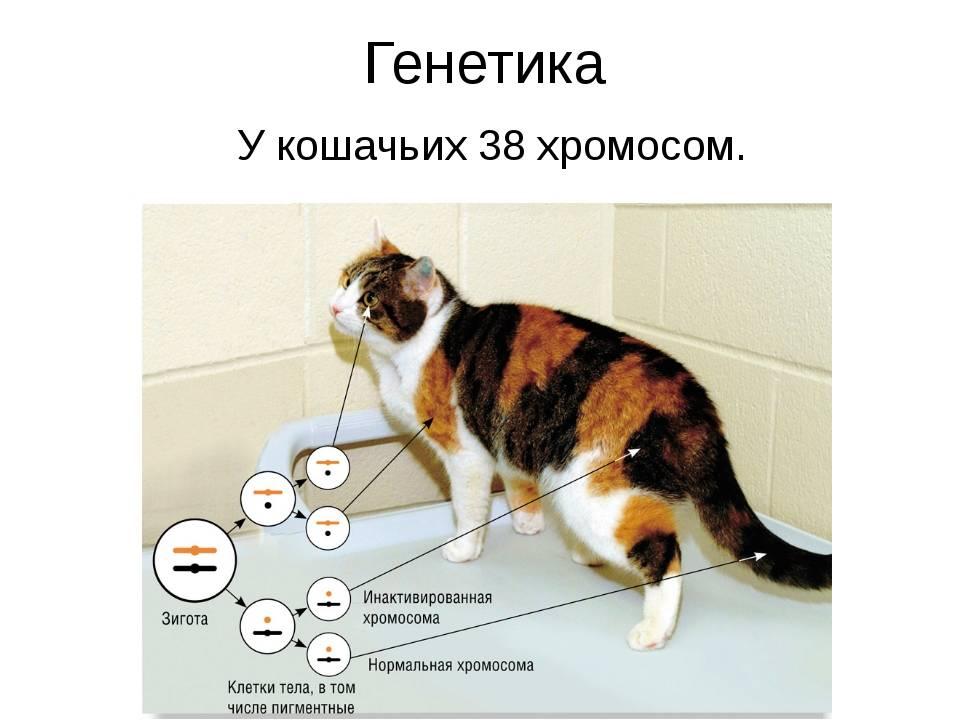Какое количество хромосом у кошки и как они влияют на потомство животных