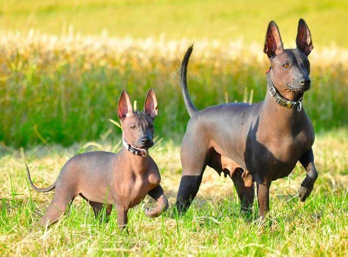 Ксолоитцкуинтли собака. особенности породы. уход за ксолоитцкуинтли | животный мир