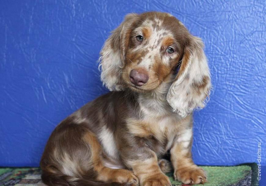 Список пород собак с красивыми голубыми глазами с описанием внешности