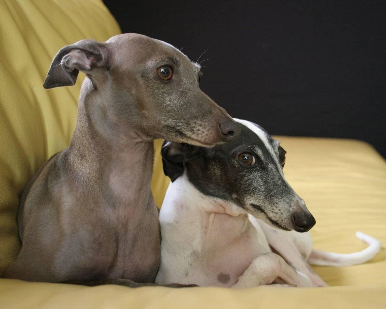 Порода собаки левретка: описание породы (фото)