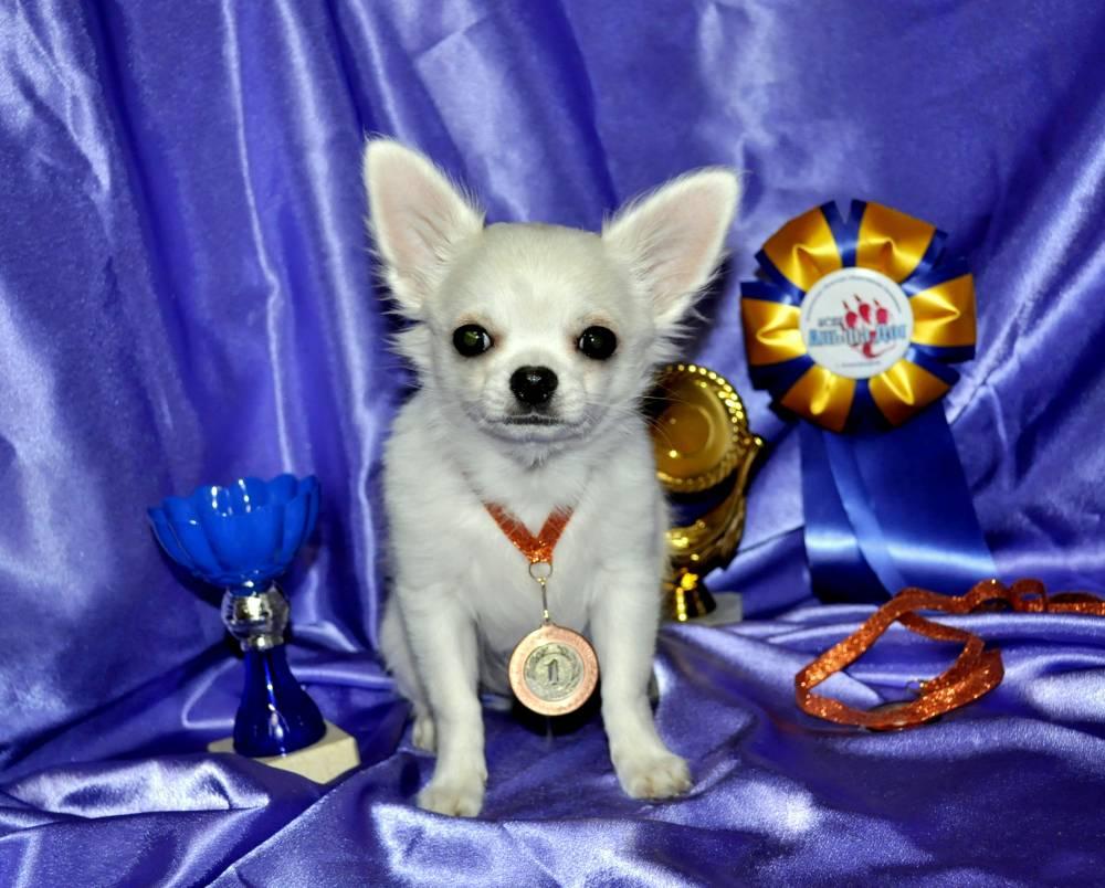 Имена для чихуахуа-девочек: красивые и забавные клички, которыми можно назвать собак маленьких пород
