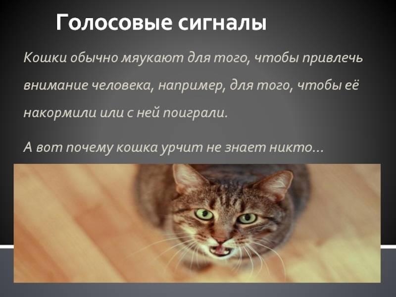 Почему кошки мурлыкают: механизм урчания и причины
