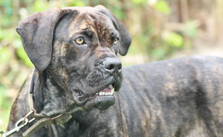 Аланская боевая порода собак: история, стандарт, уход, воспитание и цена