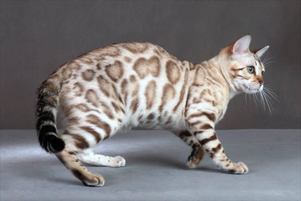 Пятнистые кошки: список пород с фотографиями и названиями