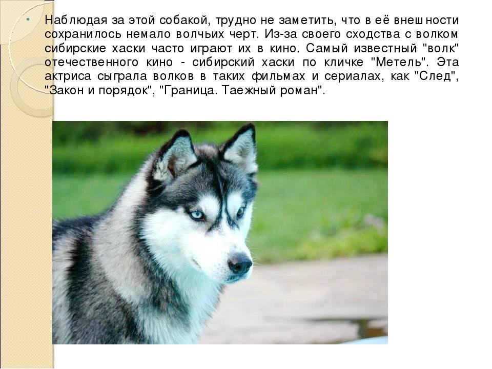 Сибирский хаски – описание породы: внешний вид, характер, уход, содержание и дрессировка