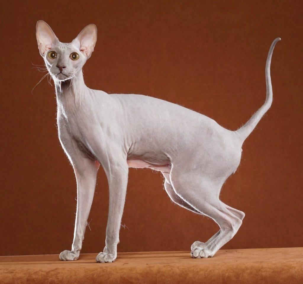 Кошка сфинкс петерболд: описание внешности и характера, уход за питомцем, выбор котёнка, отзывы владельцев, фото петербургского кота