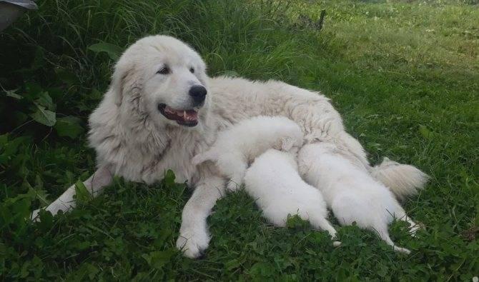 Мареммо-абруццкая овчарка - характер и воспитание лучшего охранника в мире