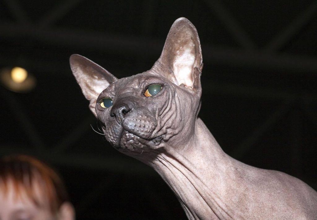 Особенности ухода за лысыми кошками, здоровье и предрасположенность к болезням