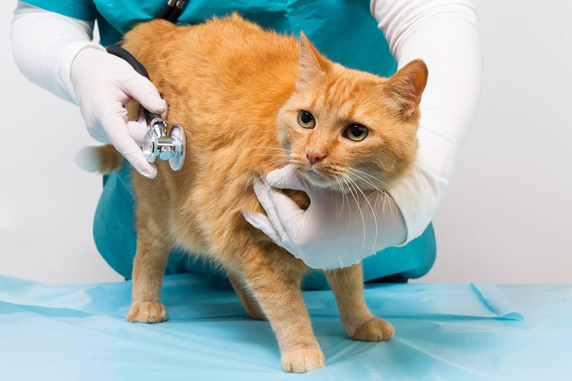 Что делать при внутреннем кровотечении у кошки