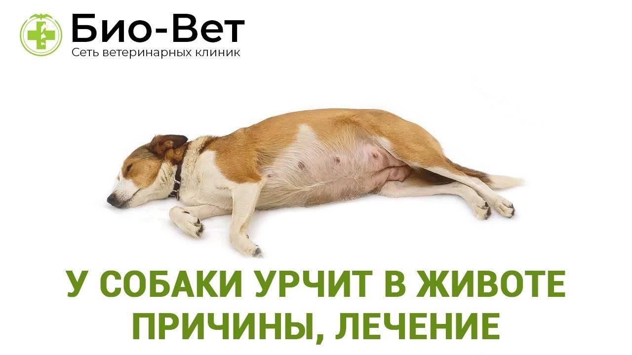 Острое расширение и заворот желудка у собак - сас энимал сервис