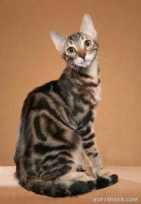 Сококе — кошка из африки