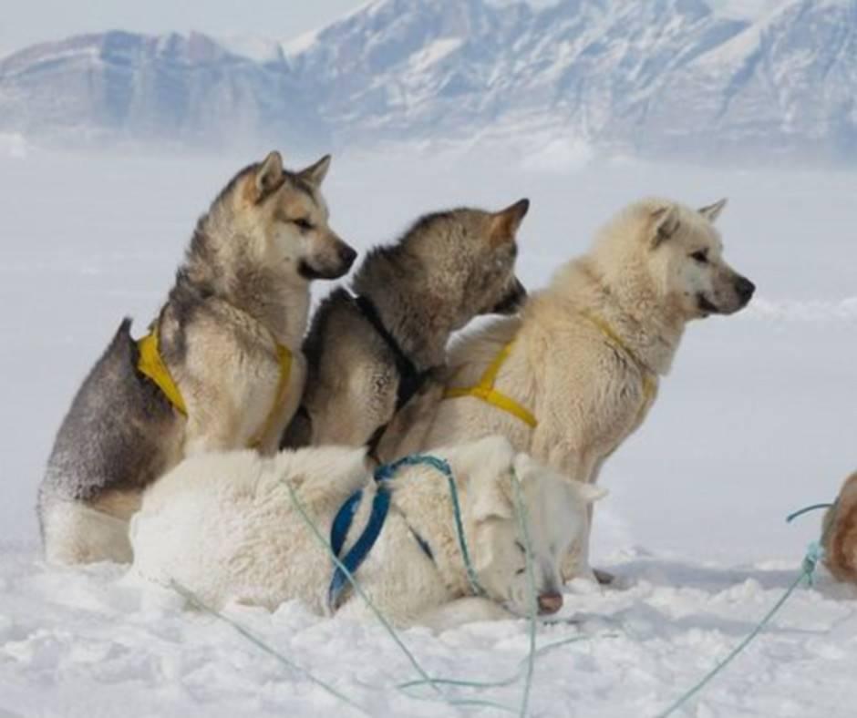 Гренландская собака (гренландсхунд)