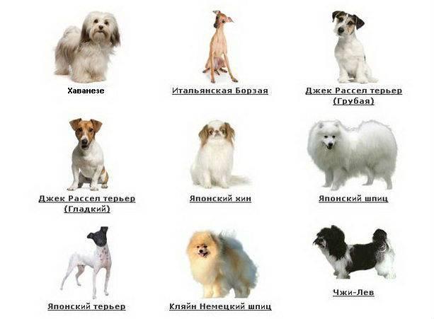 Топ самых маленьких карликовых собак с фотографиями и названиями, рейтинг по популярности — женские советы