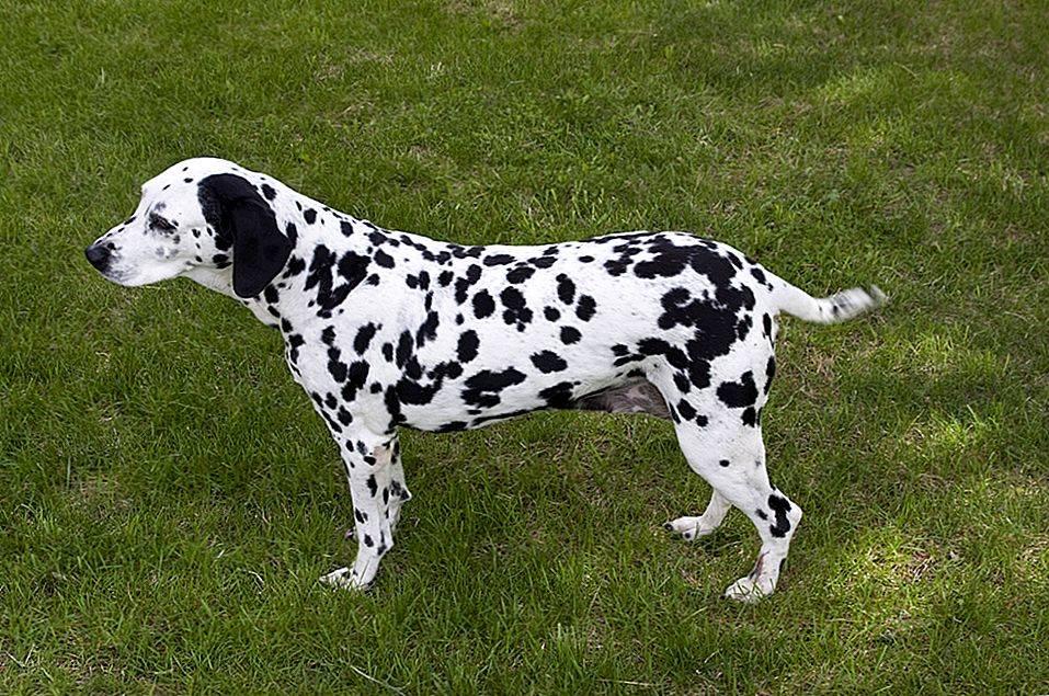 Далматин: 115 фото и характеристика породы собаки. стандарты породы и советы по уходу