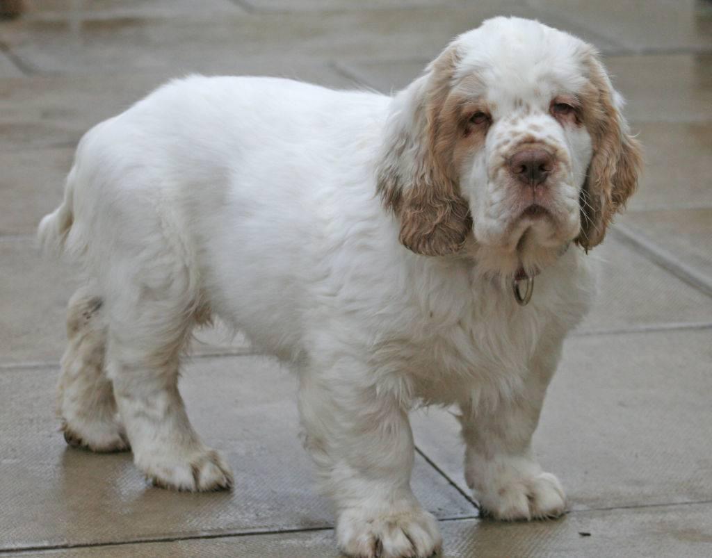 Кламбер-спаниель: фото, стандарт, характер породы собак