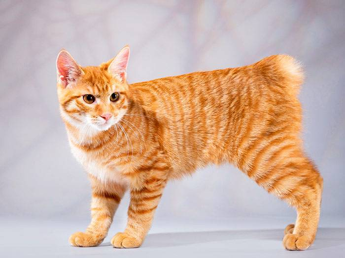 Мэнкс (мэнская бесхвостая кошка): описание породы, цена, уход и содержание, фото
