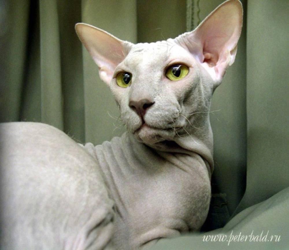 Петерболд (петербургский сфинкс) кошка: подробное описание, фото, купить, видео, цена, содержание дома