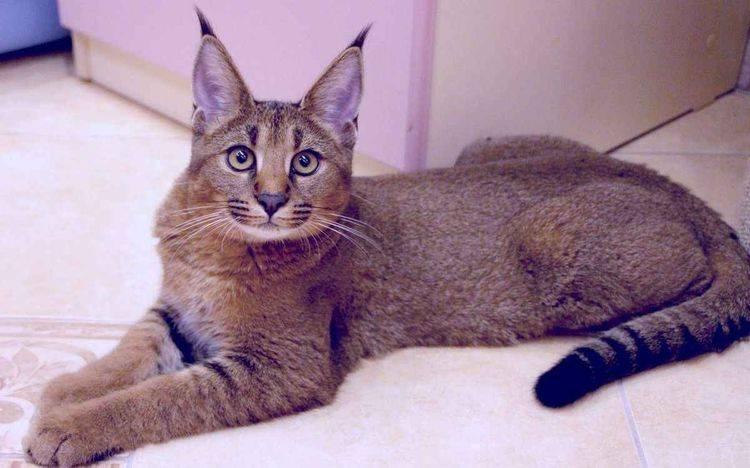 Котёнок каракал: сколько может стоить и формирование цены, особенности ухода в домашних условиях