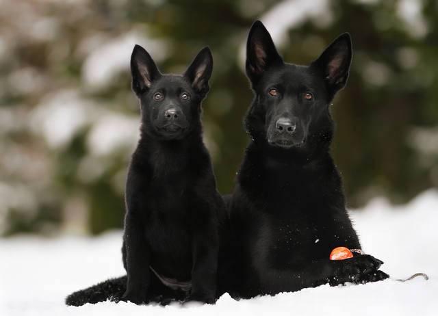 Немецкая овчарка черного цвета, чем отличается от обычной, содержание