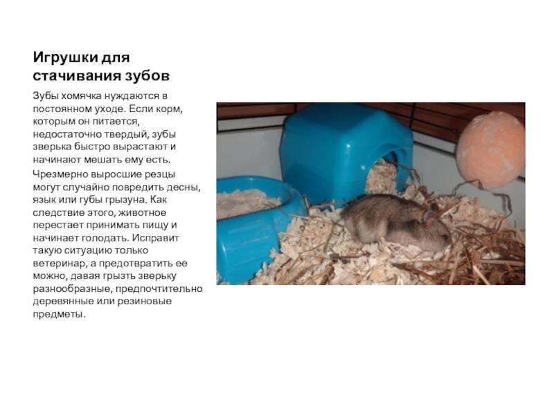 Джунгарики: уход, содержание и питание джунгарских хомячков; как ухаживать за маленькими хомяками.