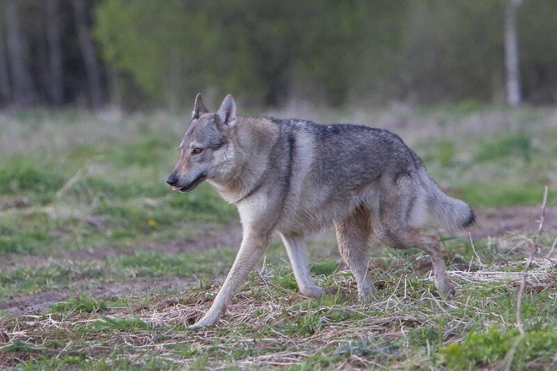 Чехословацкая волчья собака (чешский влчак) 115 фото + все особенности породы
