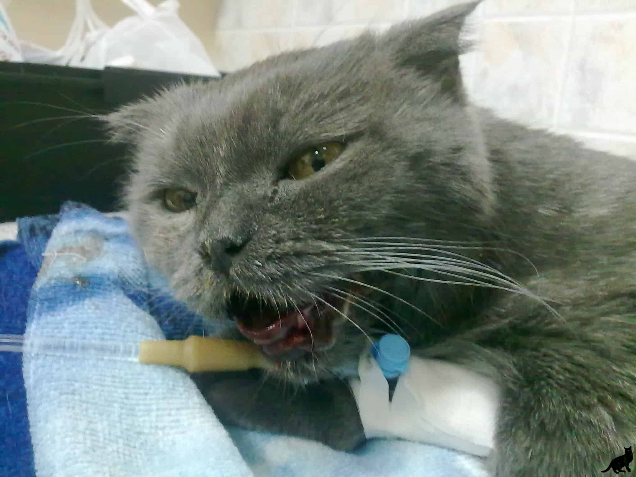 Запах из пасти кошки: причины и лечение