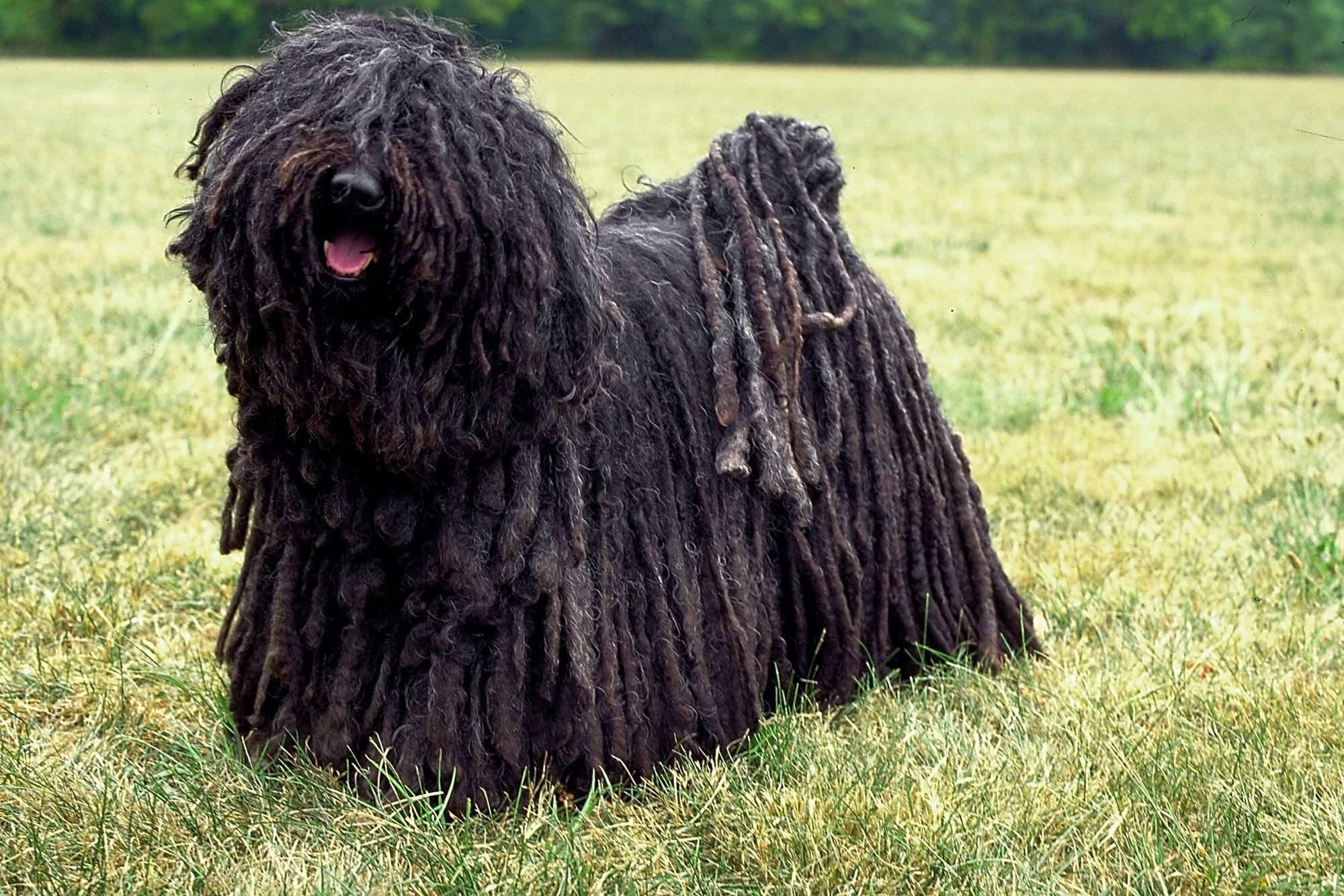 Собаки с бородой (26 фото): что необычного в бородатых собаках? представители породы маленьких размеров