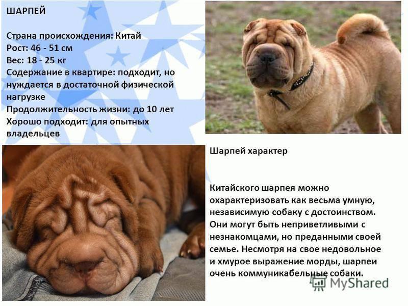 Порода собак шарпей