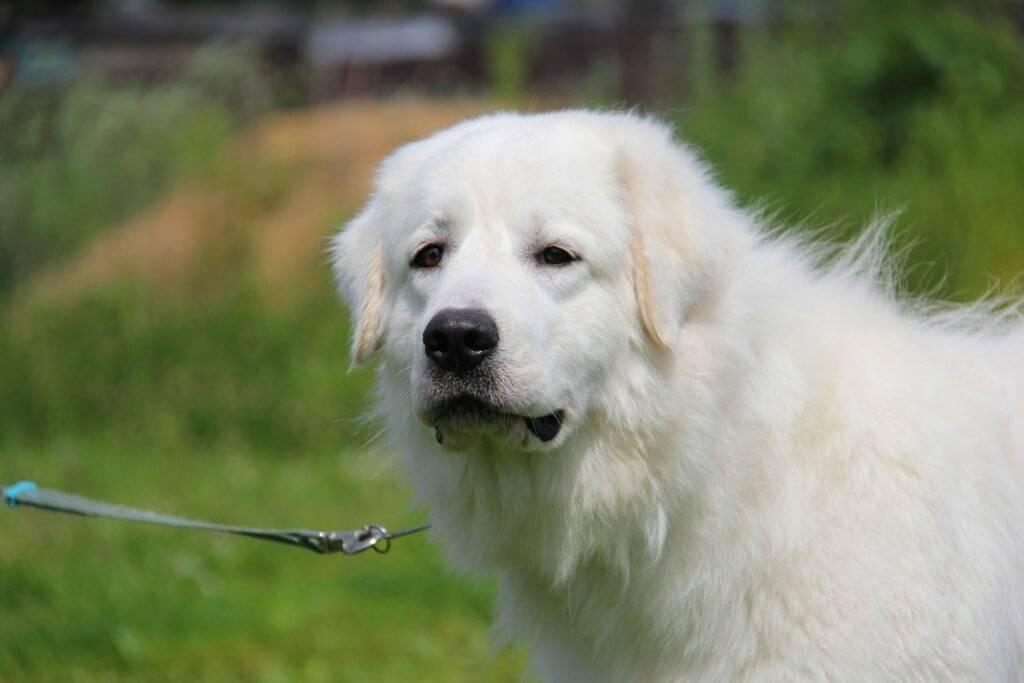 Маремма-абруццкая овчарка - описание породы и характер собаки
