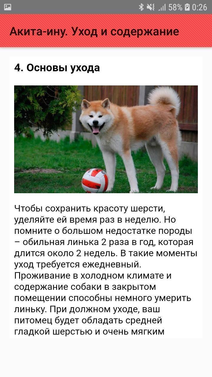 Акита-ину: описание породы, характер собаки и щенка, фото, цена