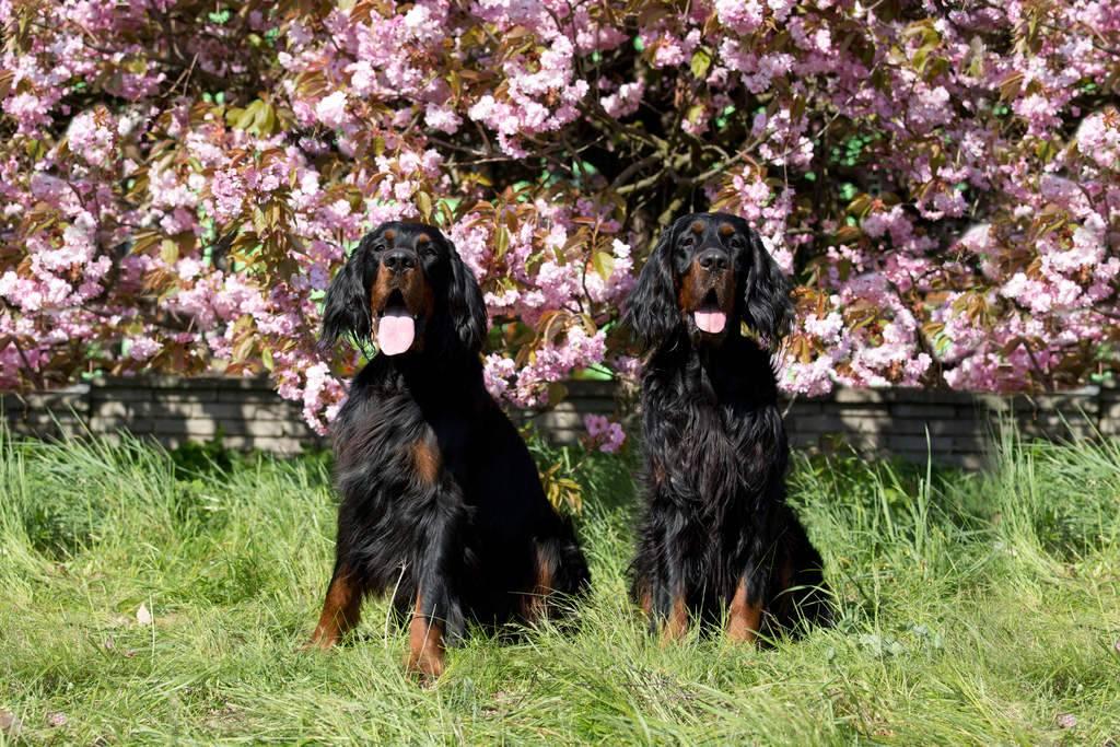 Шотландский сеттер (гордон): фото и описание породы собак, характер и история породы