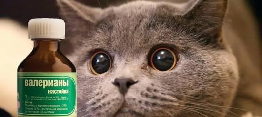 Валерьянка для котов и кошек: почему они ее так любят, и как валериана может навредит их здоровью