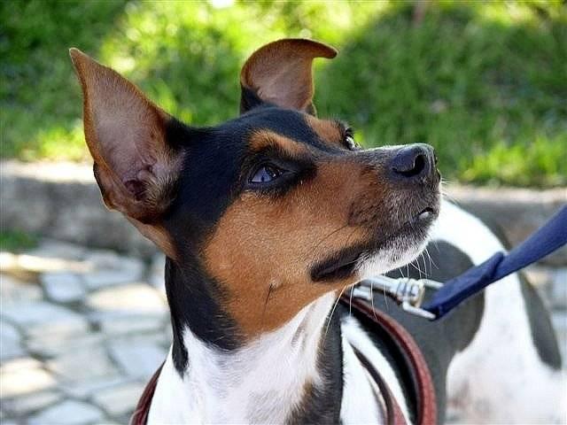 Бразильский мастиф (фила бразилейро): описание породы собак и отзывы владельцев о характере питомцев