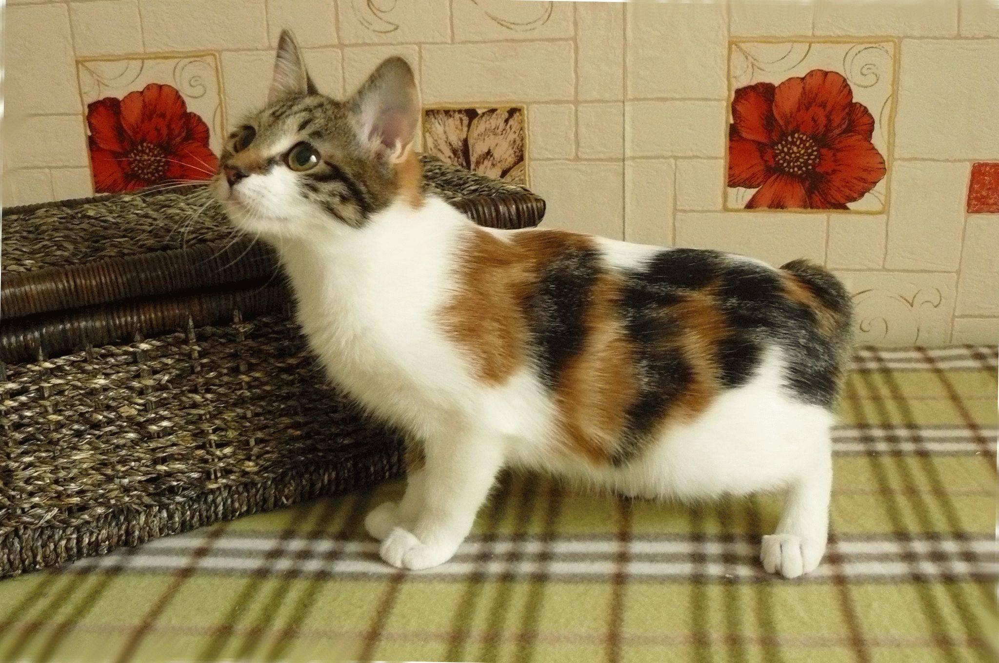 Описание кота и кошки породы японский бобтейл