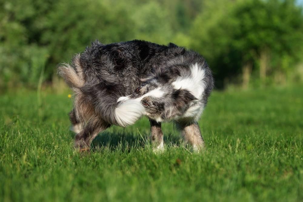 Почему собака бегает за своим хвостом и что при этом делать почему собака бегает за своим хвостом и что при этом делать