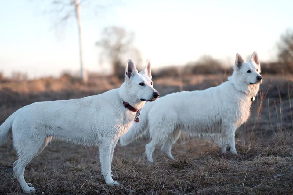 Белая швейцарская овчарка: трудолюбивый пастух и надёжный друг