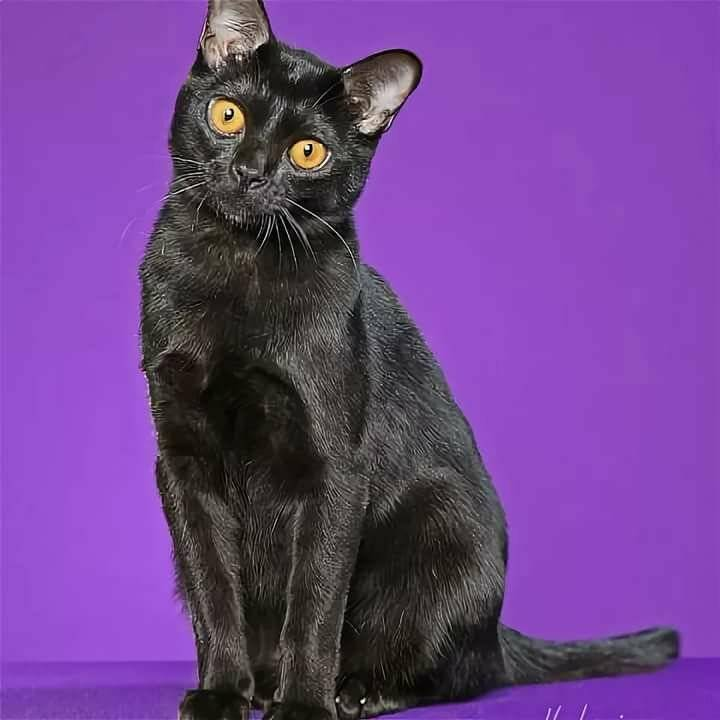 Бомбейская кошка: описание, характер, фото, цена, содержание