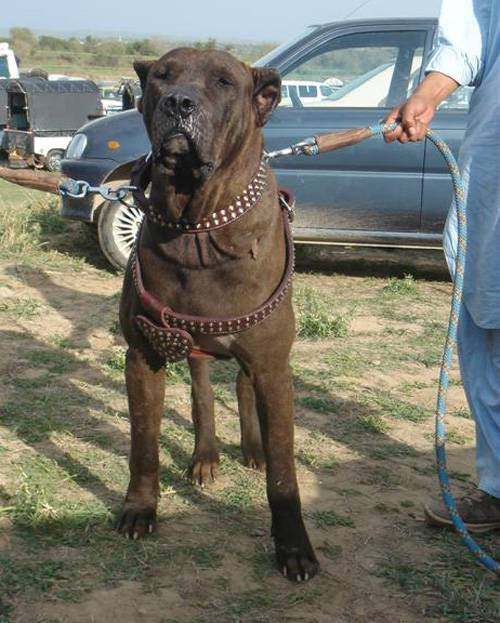 Особенности содержания и ухода, размножение и болезни собак породы булли кутта