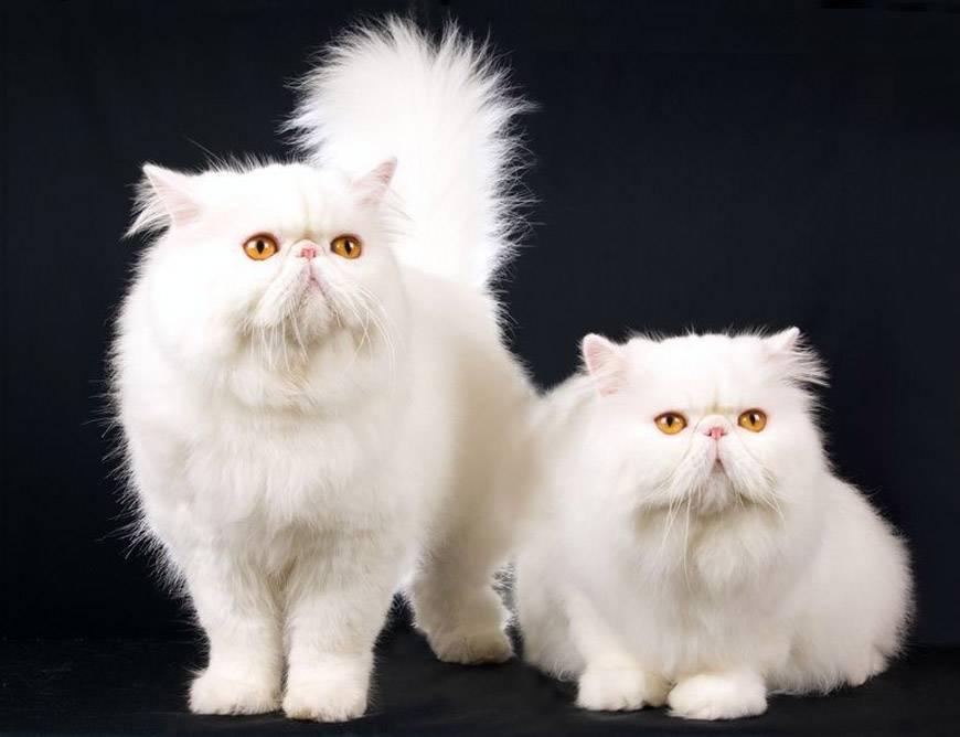 Персидская кошка: описание, характер, виды и рекомендации по уходу