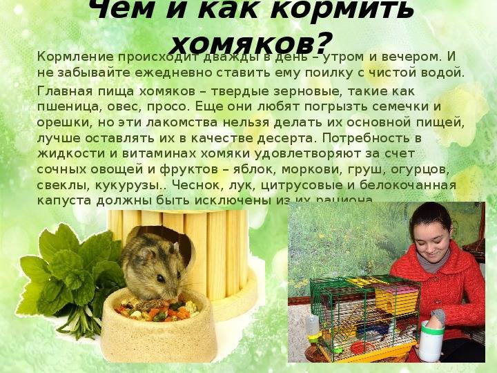 Как ухаживать и чем кормить детёнышей хомяков