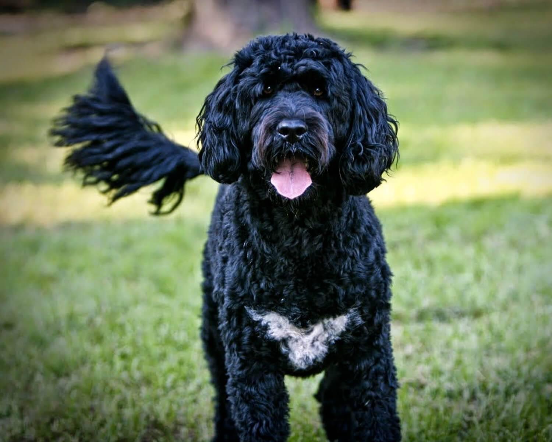 Португальская водяная собака: фото и характеристики, цена, уход
