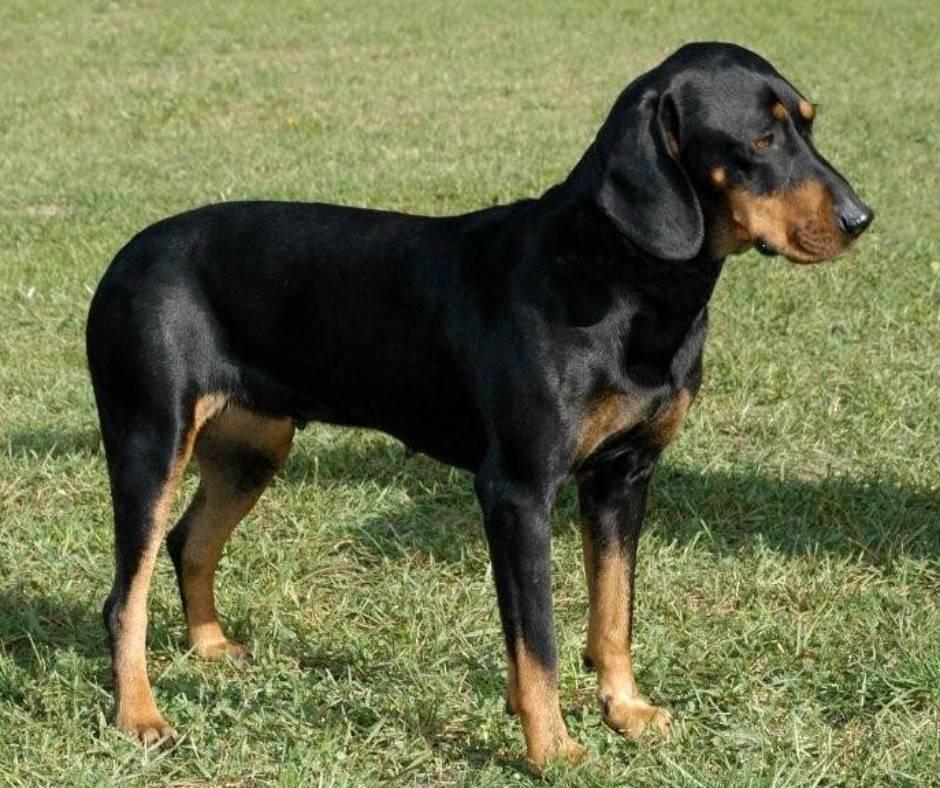 Австрийская гончая: гладкошерстная порода собак, описание, цена
