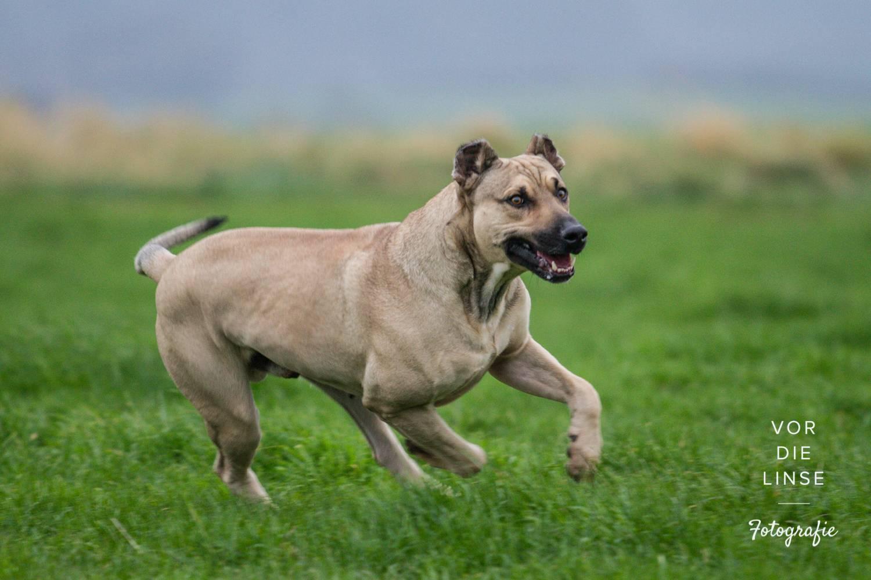 Бернская горная пастушья собака (бернский зенненхунд): фото, купить, видео, цена, содержание дома
