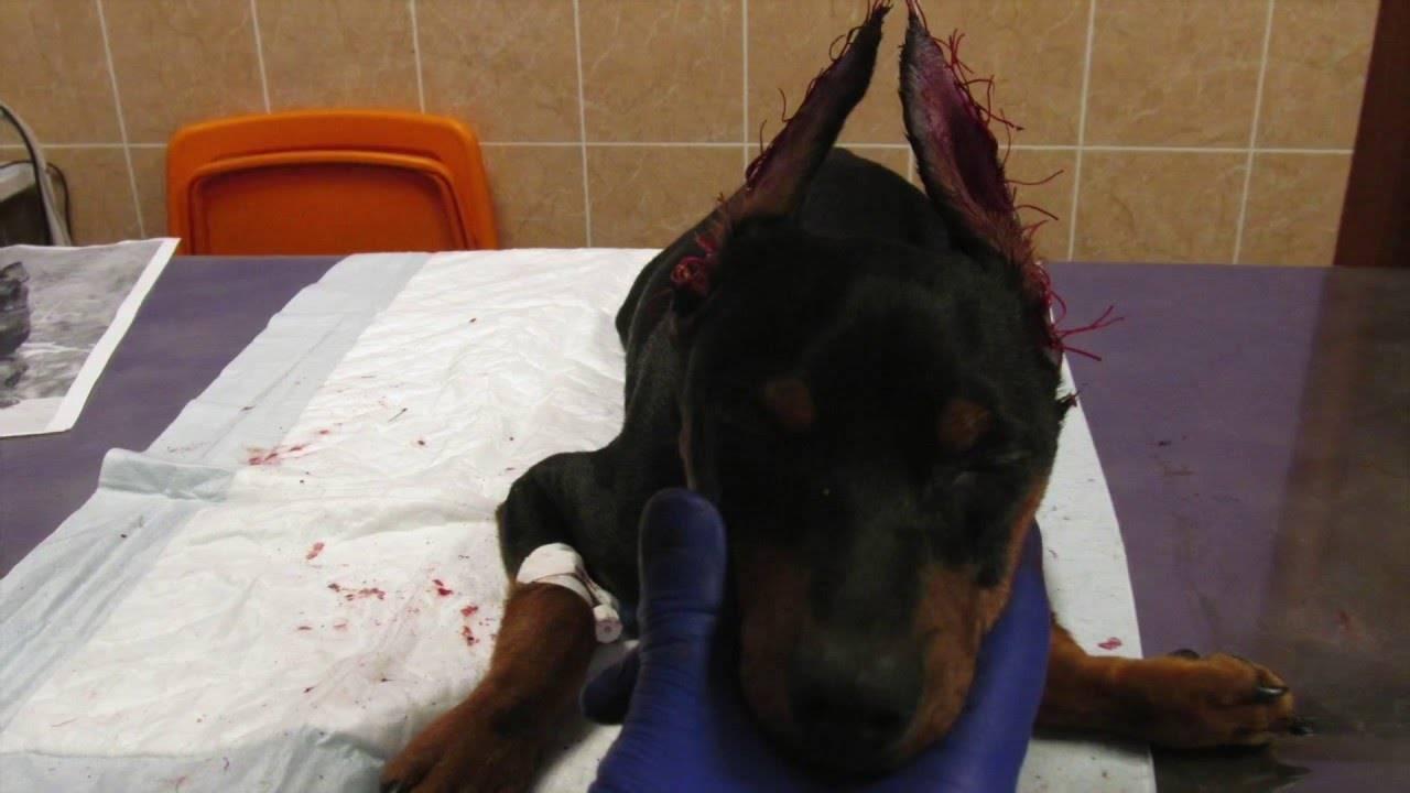 Доберман: описание породы собак с фото и видео