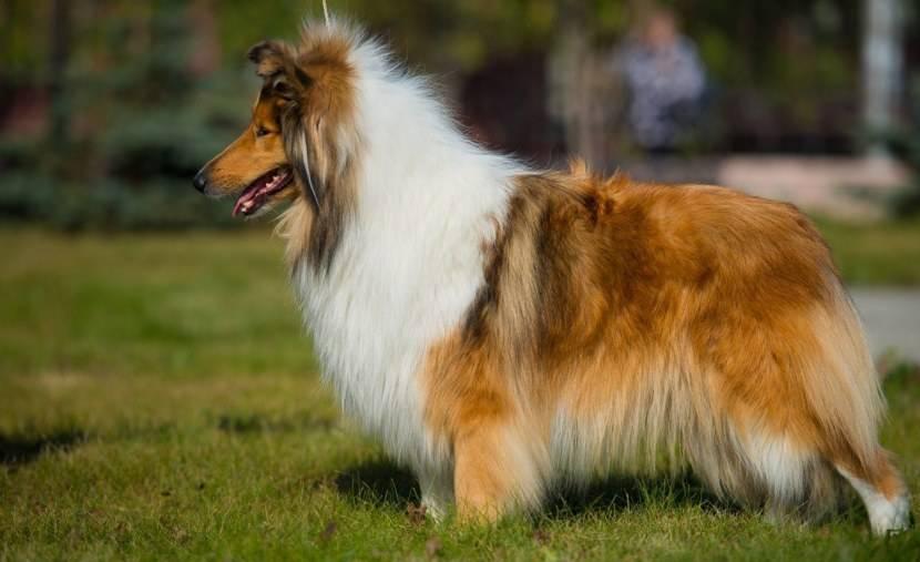 Колли (шотландская овчарка): добрая пастушка или изящная аристократка