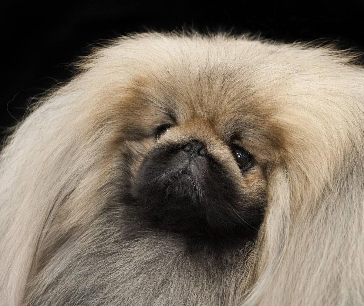 Пекинес: фото, щенки, история, описание, характер, содержание